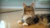 cat, Companion Animal Parasite Council